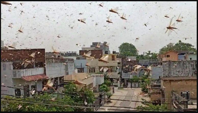locust-attack-gurugram
